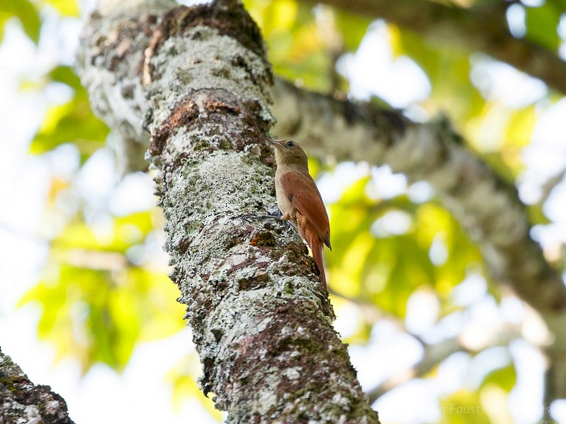 Olivaceous Woodcreeper - Silvia Faustino Linhares