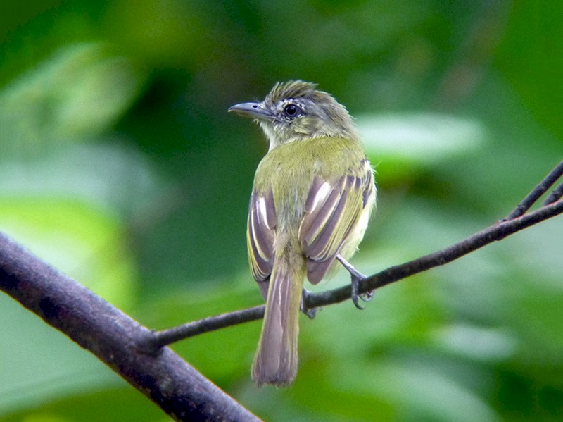 Yellow-olive Flycatcher - Euclides