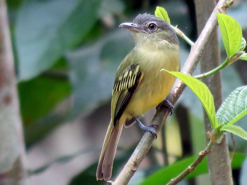 Yellow-olive Flycatcher - Fernando Angulo - CORBIDI