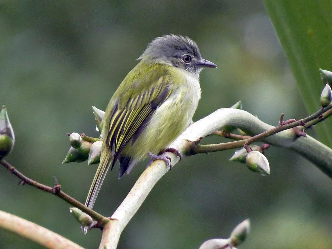 Yellow-olive Flycatcher - Róger Rodríguez Bravo