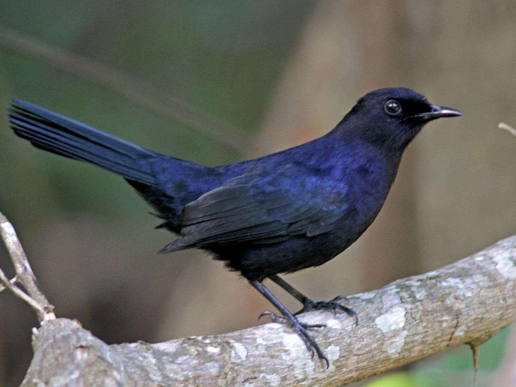 Black Catbird - Ian Davies