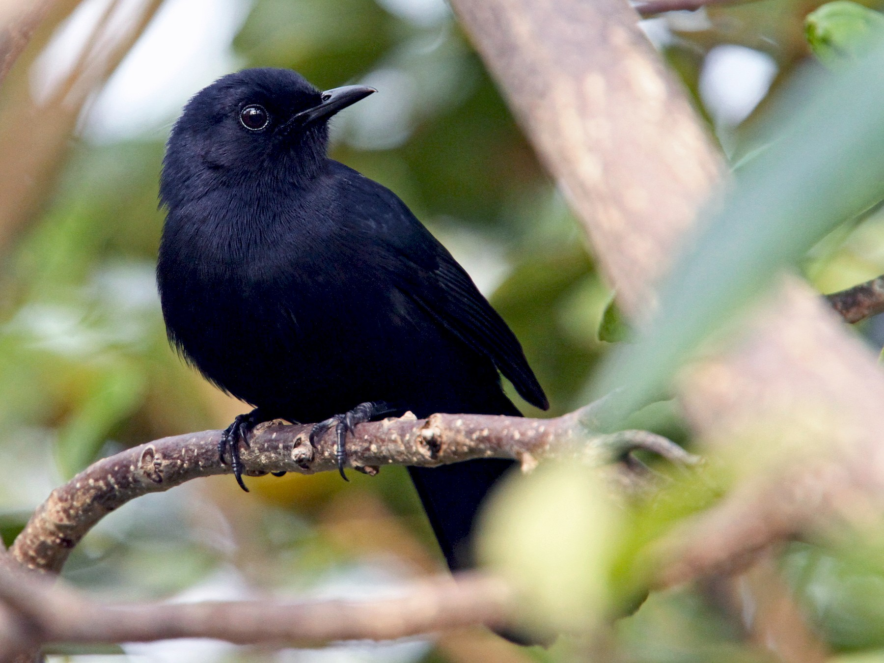 Black Catbird - Luke Seitz