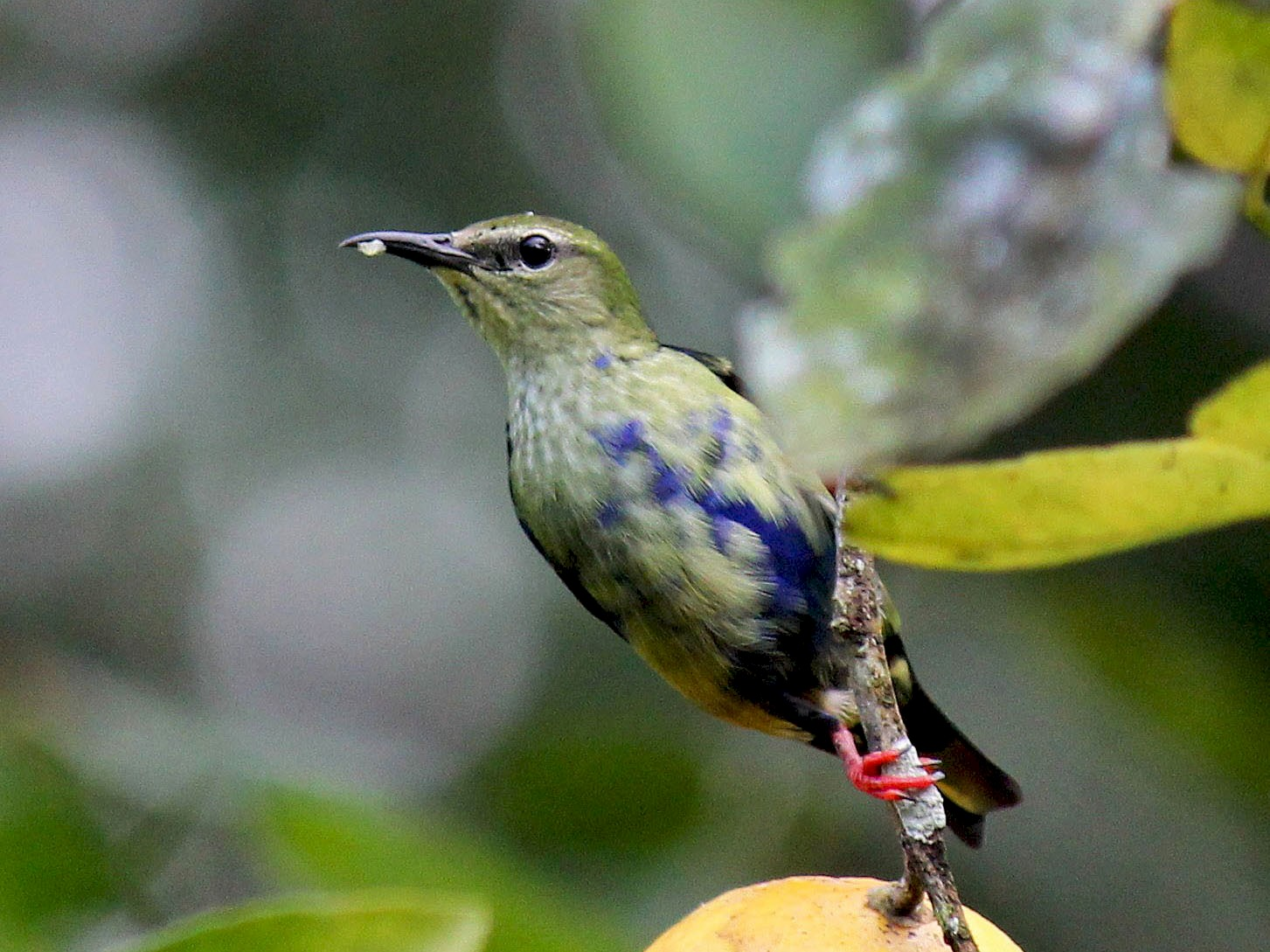Red-legged Honeycreeper - Charles Gates