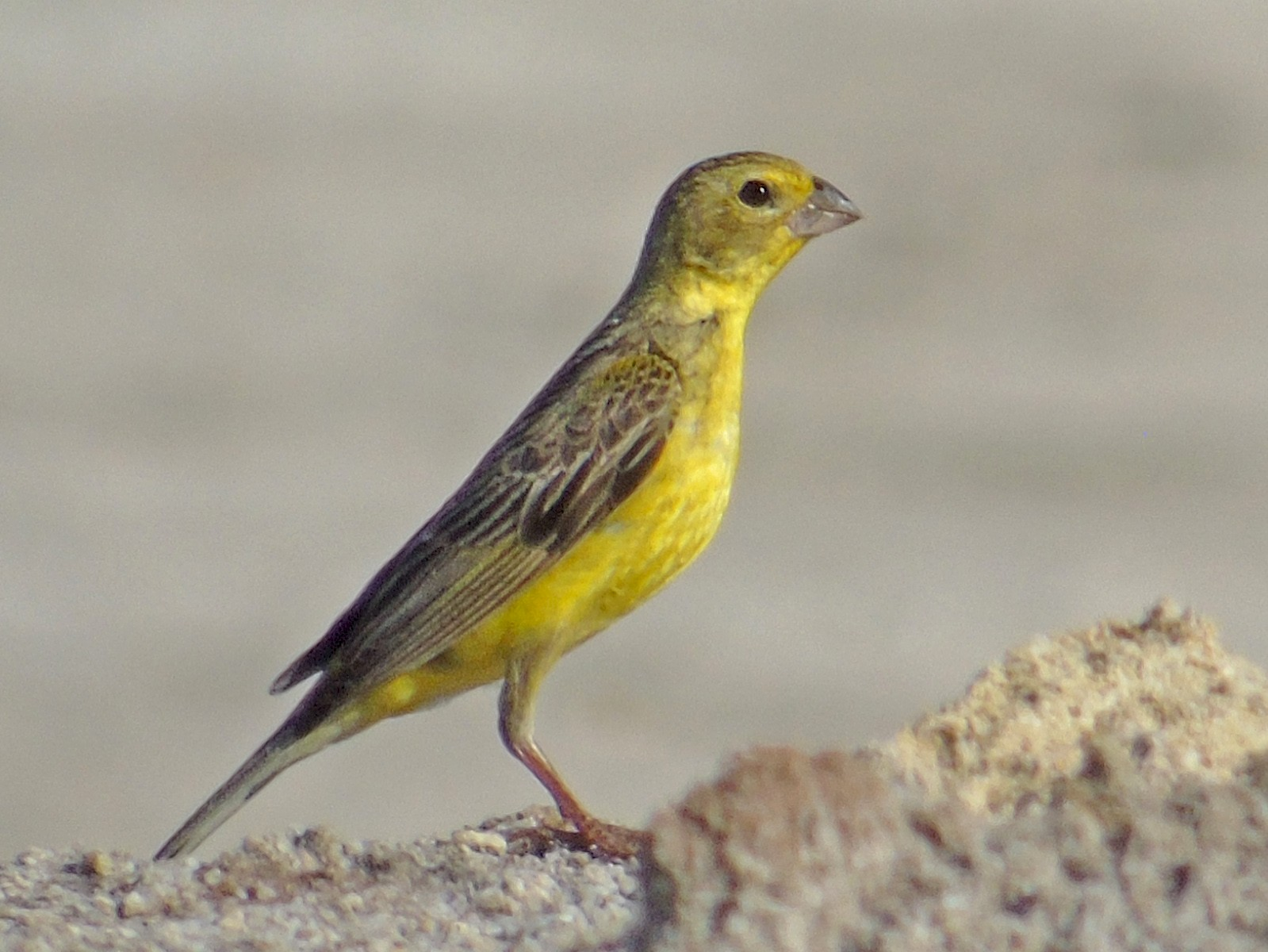 Grassland Yellow-Finch - Roni Martinez