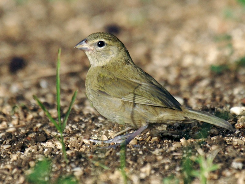 Yellow-faced Grassquit - David Irving