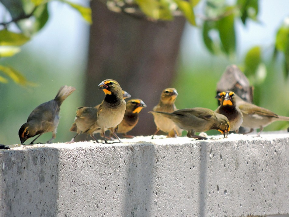 Yellow-faced Grassquit - Richard Garrigues