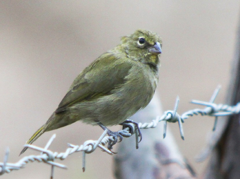 Yellow-faced Grassquit - Corey Finger