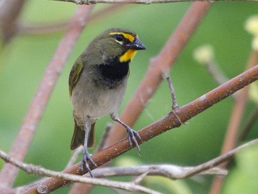 Yellow-faced Grassquit - Jerome Foster