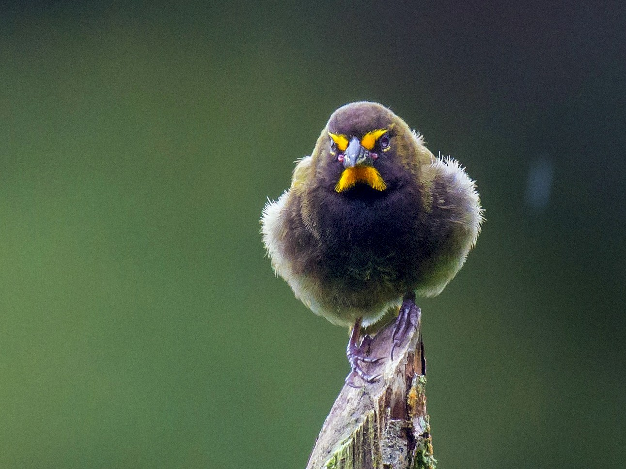 Yellow-faced Grassquit - Tal Pipkin