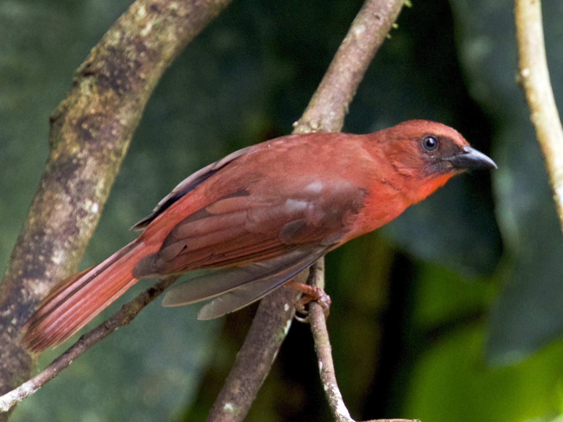 Red-throated Ant-Tanager - Calvin Walters