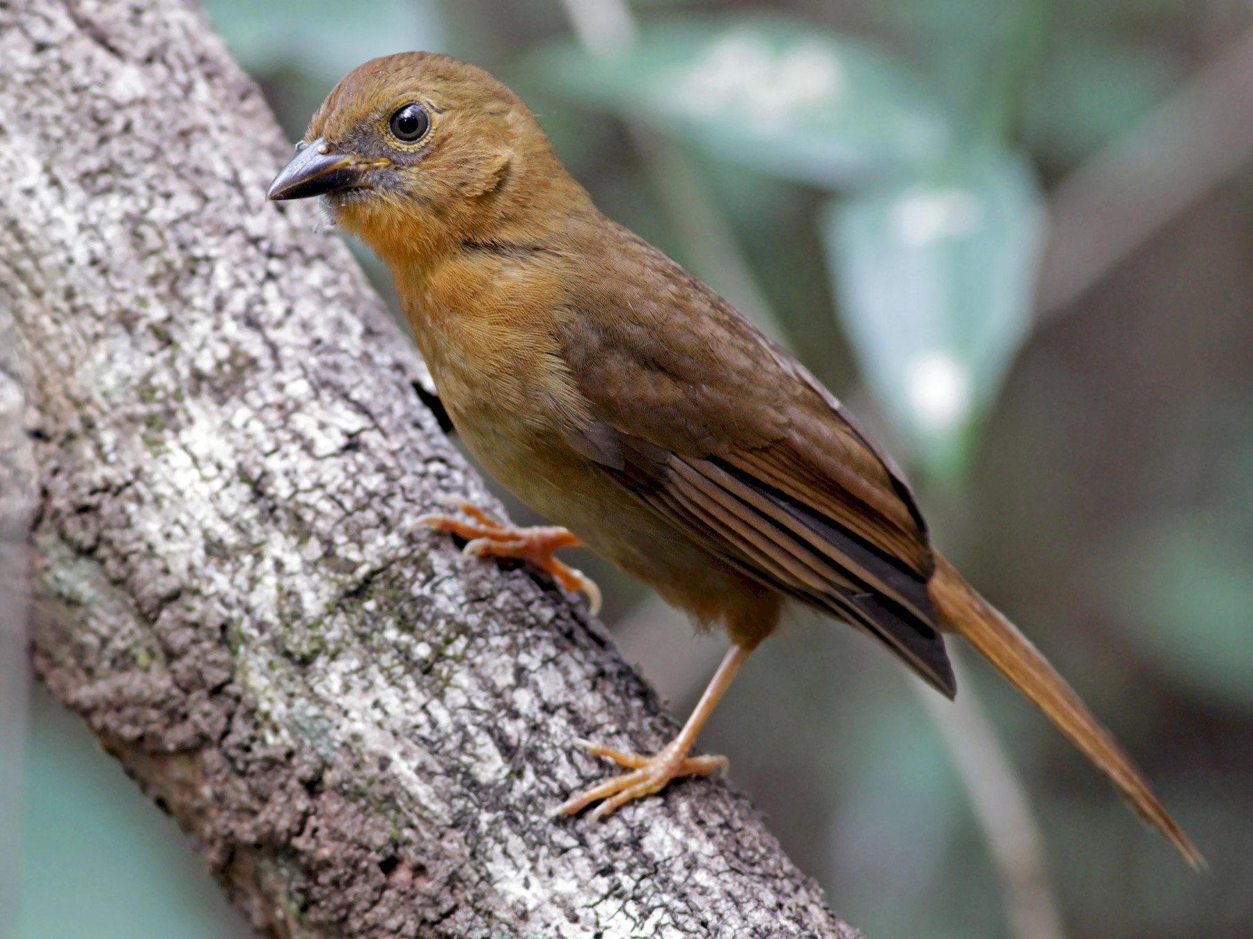 Red-throated Ant-Tanager - Ian Davies