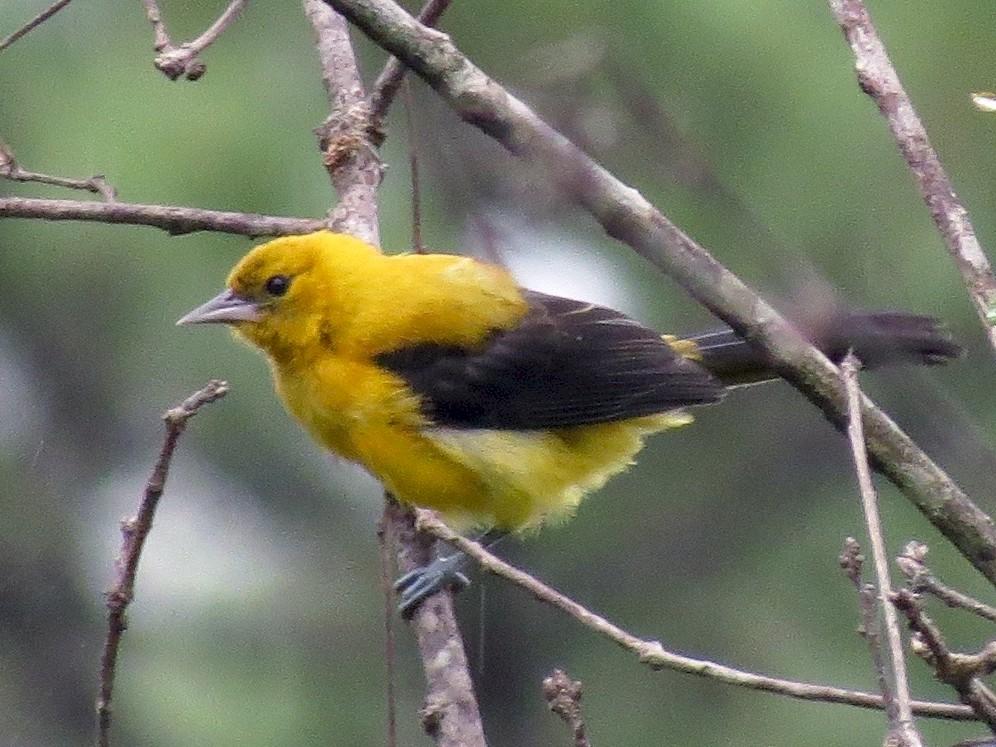 Yellow-backed Oriole - John van Dort