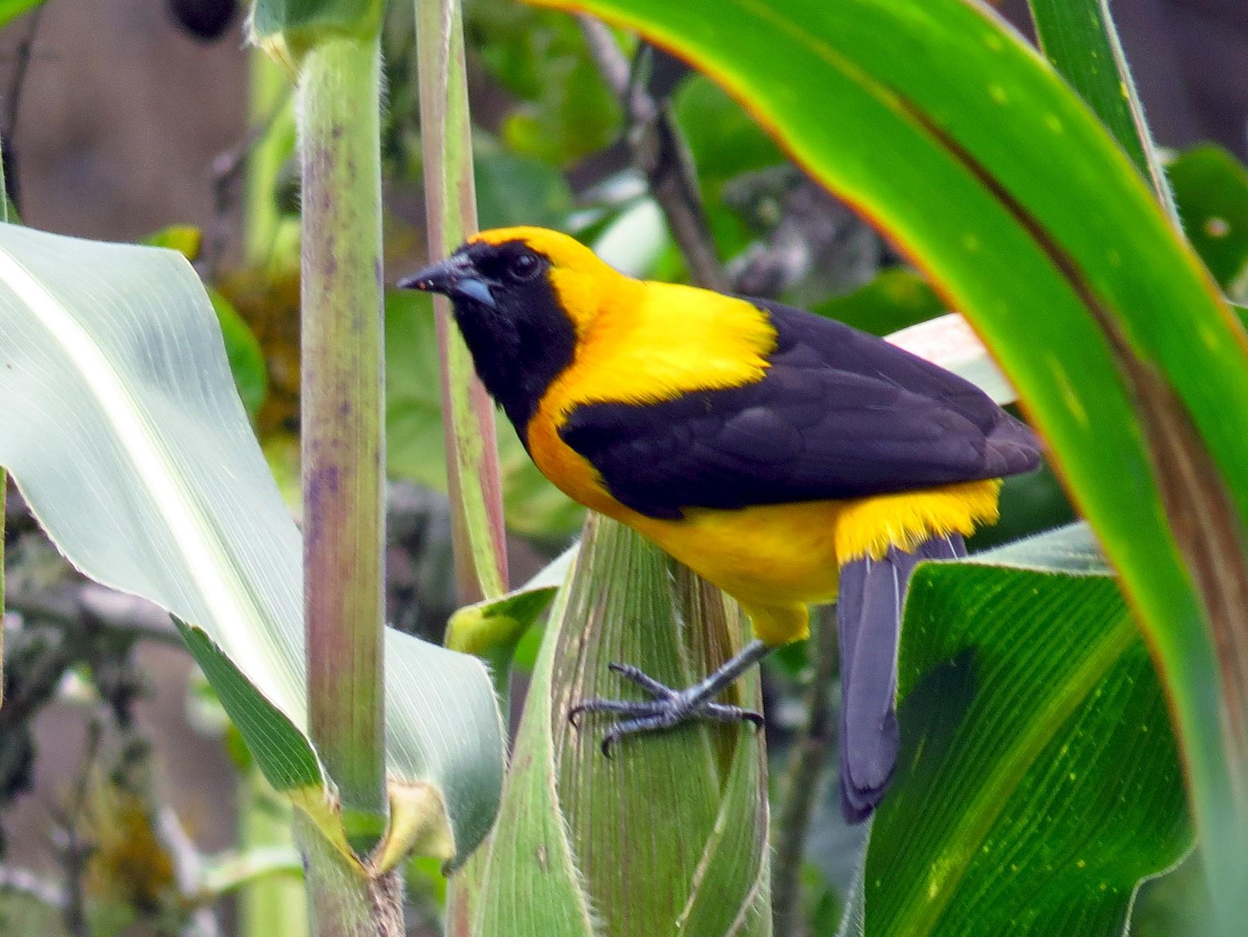 Yellow-backed Oriole - Juan Sebastian Moreno