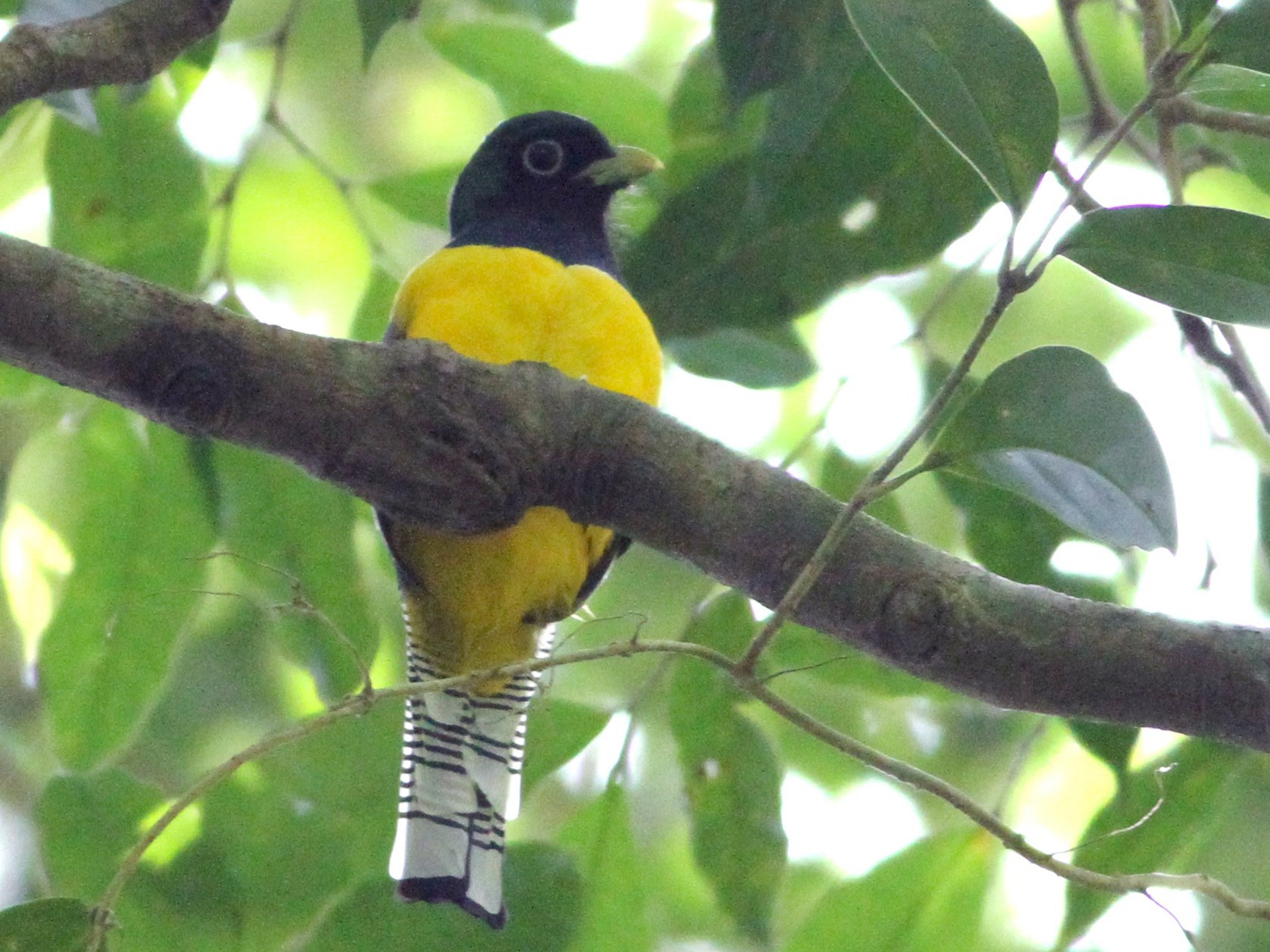 Black-throated Trogon - Georges Duriaux