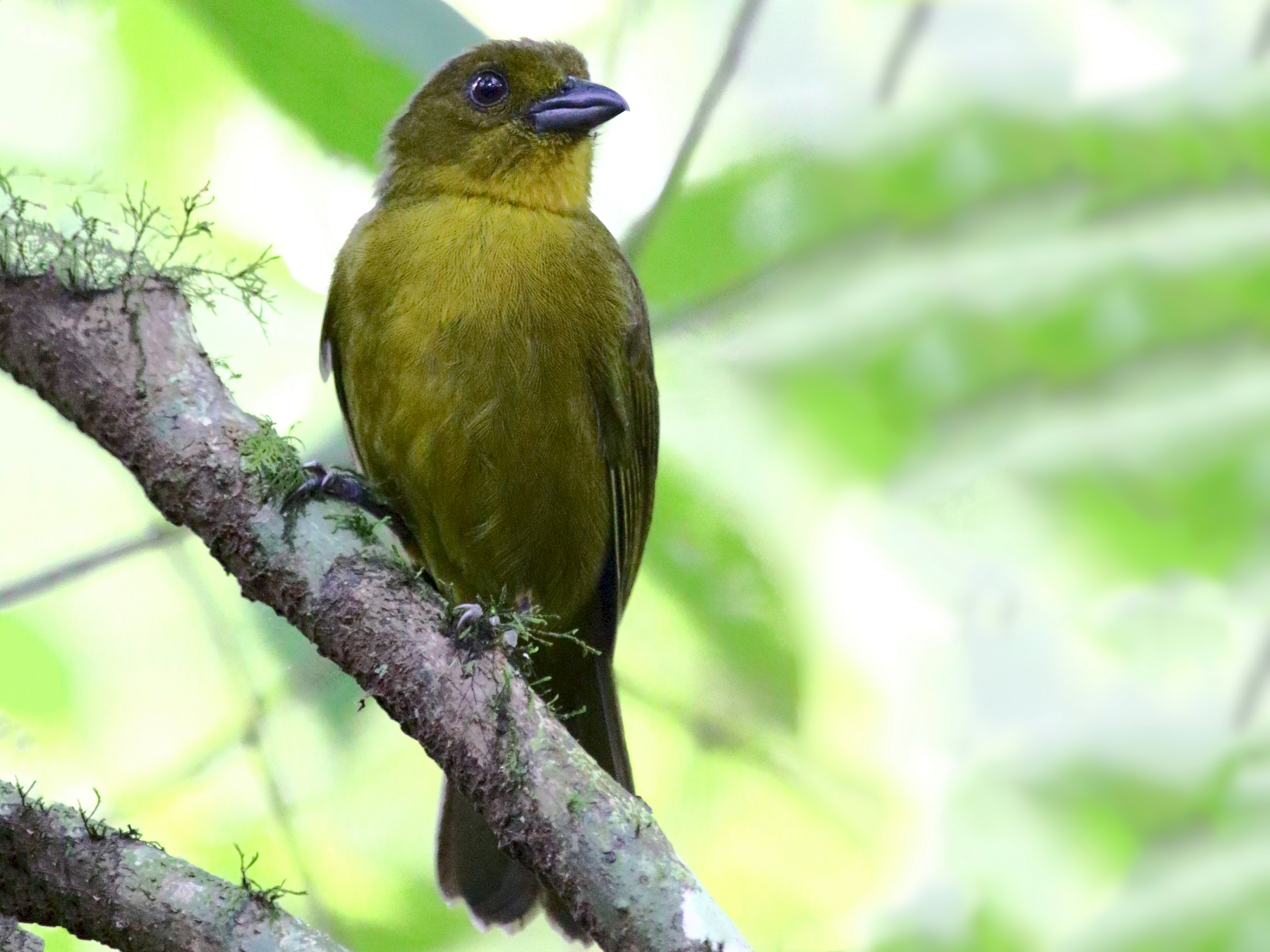 Carmiol's Tanager - Ryan Candee
