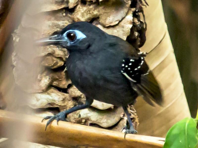Chestnut-backed Antbird - Carole Rose