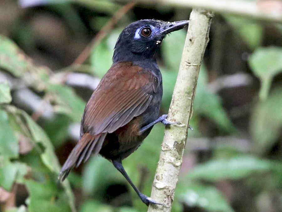 Chestnut-backed Antbird - Tom Murray
