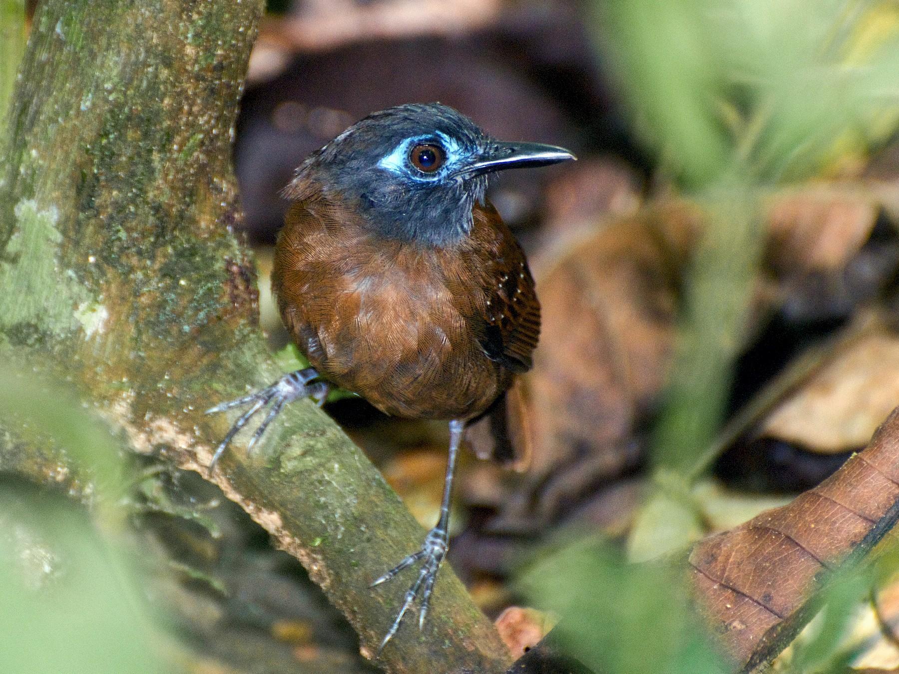 Chestnut-backed Antbird - Christian  Nunes