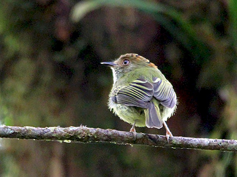 Scale-crested Pygmy-Tyrant - Tim Avery
