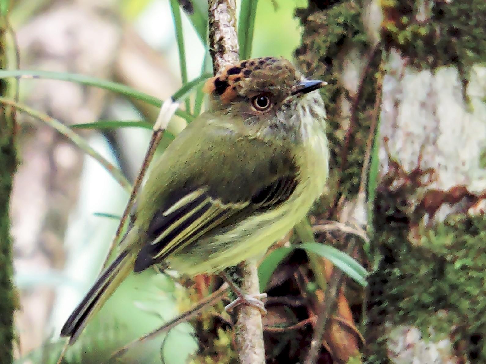 Scale-crested Pygmy-Tyrant - Jorge Muñoz García   CAQUETA BIRDING