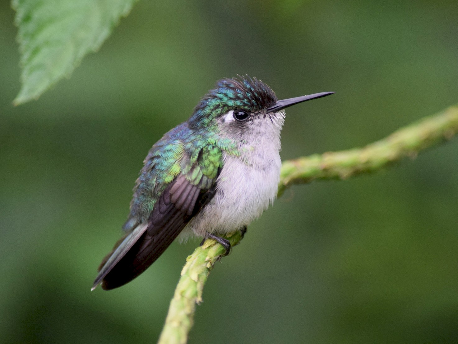 Violet-headed Hummingbird - Joel Beyer