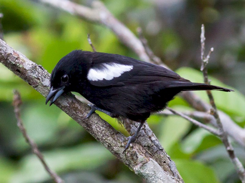 White-shouldered Tanager - Michael Todd
