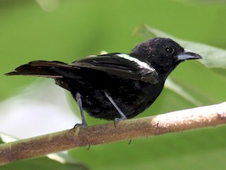 - White-shouldered Tanager