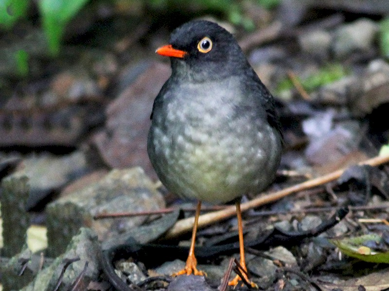 Slaty-backed Nightingale-Thrush - Dan Maxwell