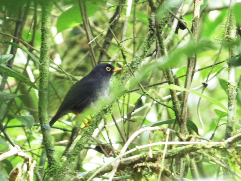 Slaty-backed Nightingale-Thrush - Róger Rodríguez Bravo