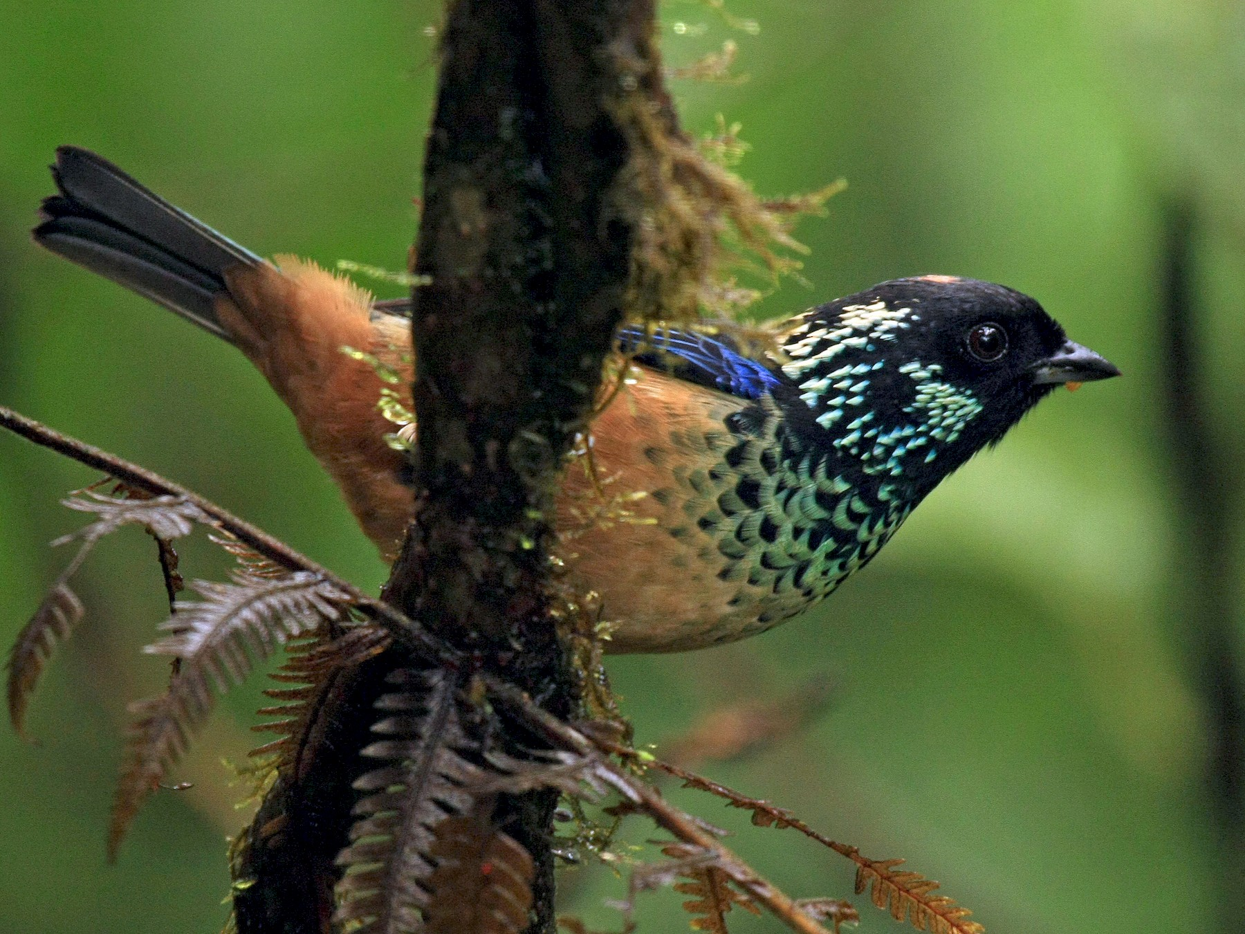 Spangle-cheeked Tanager - Tim Lenz