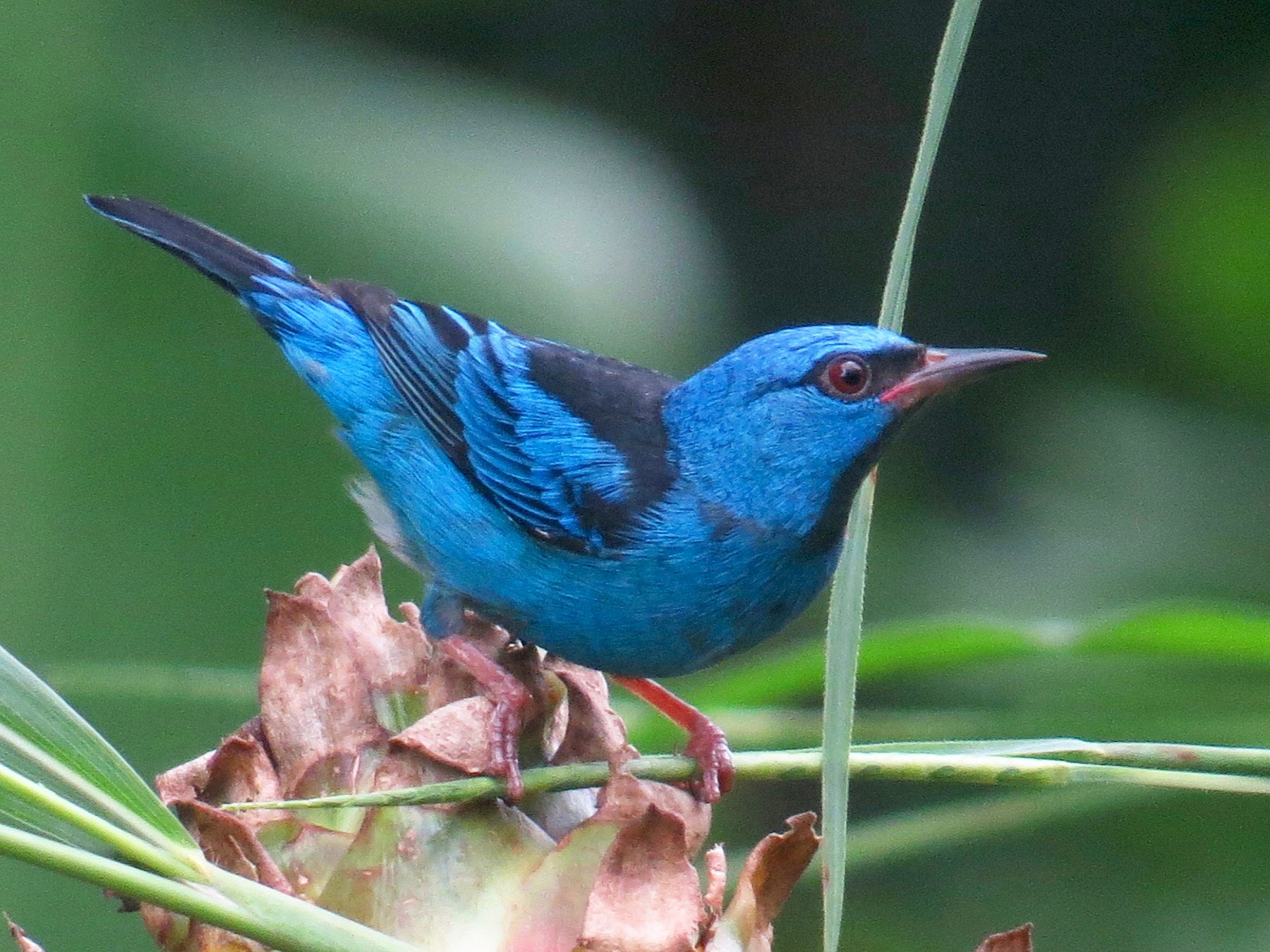 Blue Dacnis - Gerry Hawkins