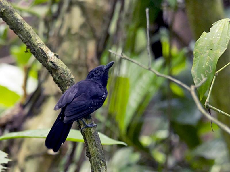 Black-hooded Antshrike - Marcelo Corella