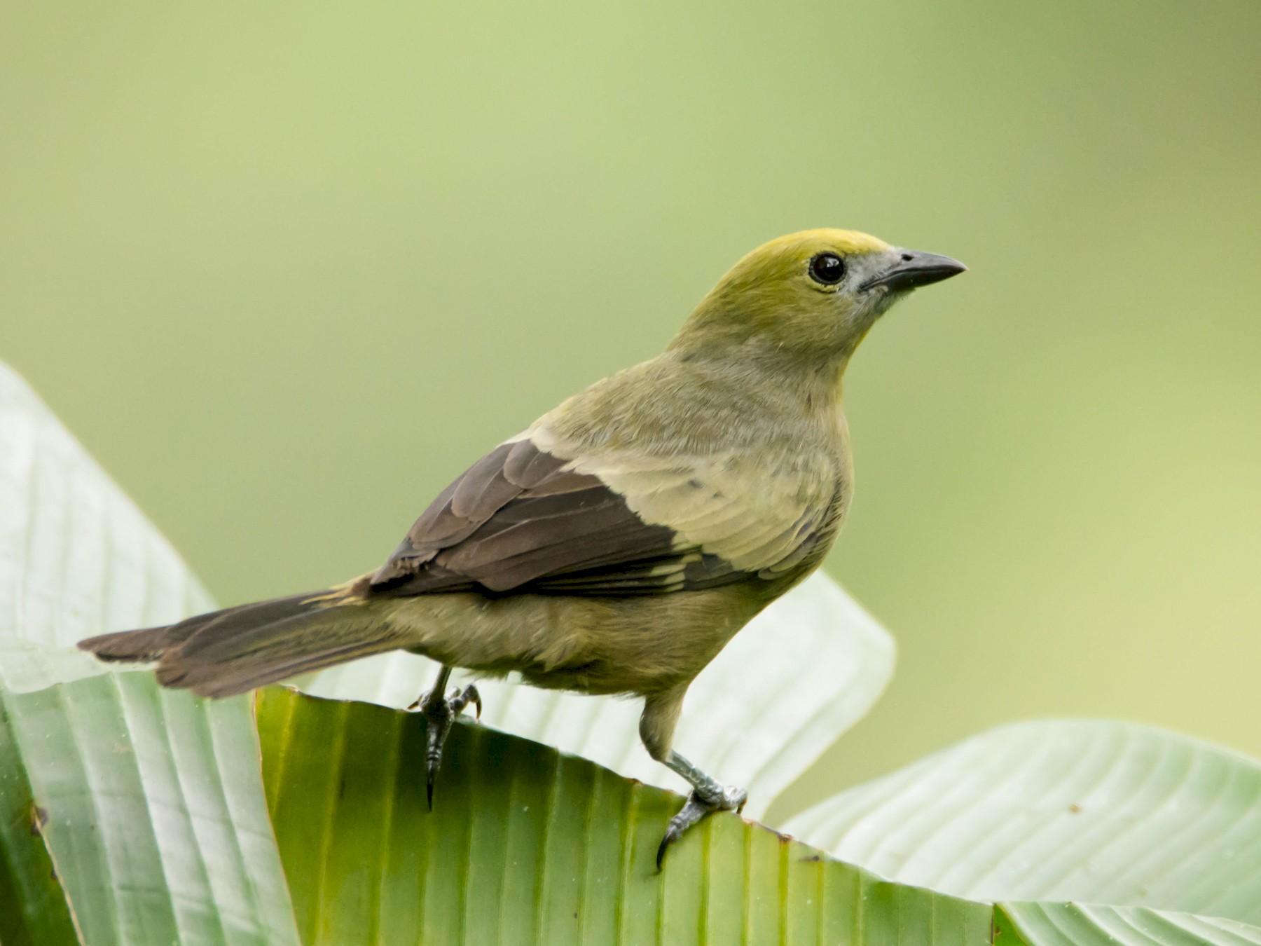 Palm Tanager - Juan Sebastian Moreno