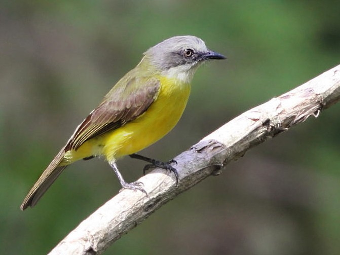Gray-capped Flycatcher - Tom Murray