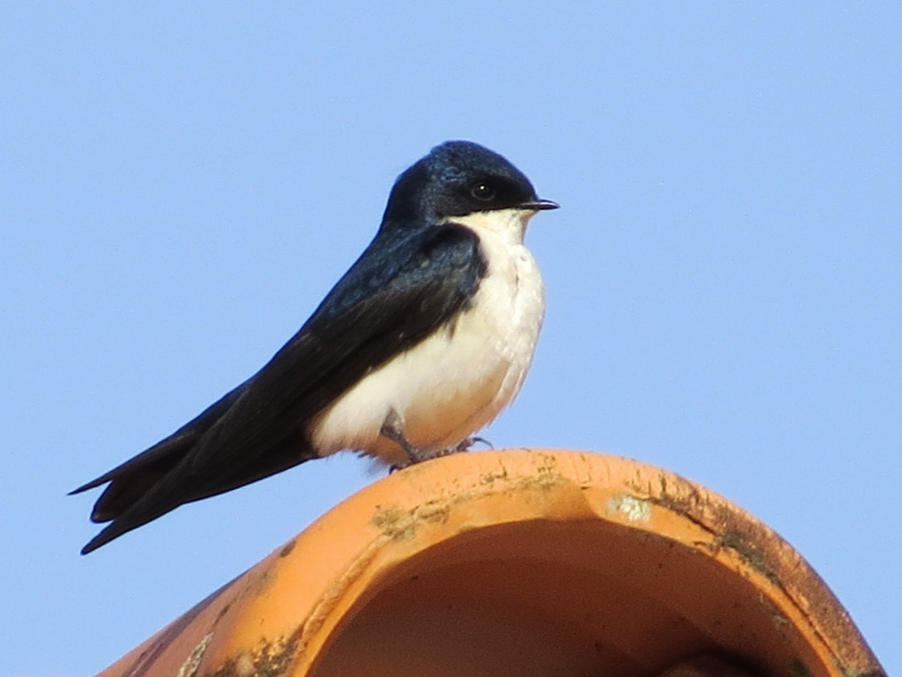 Blue-and-white Swallow - Jeff Harding