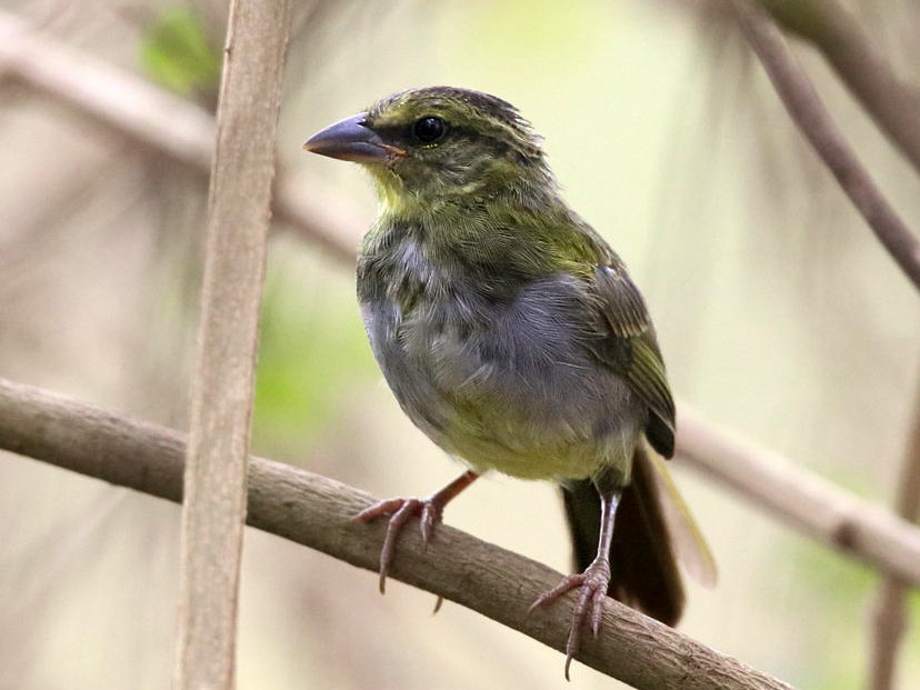 Black-striped Sparrow - Tom Murray