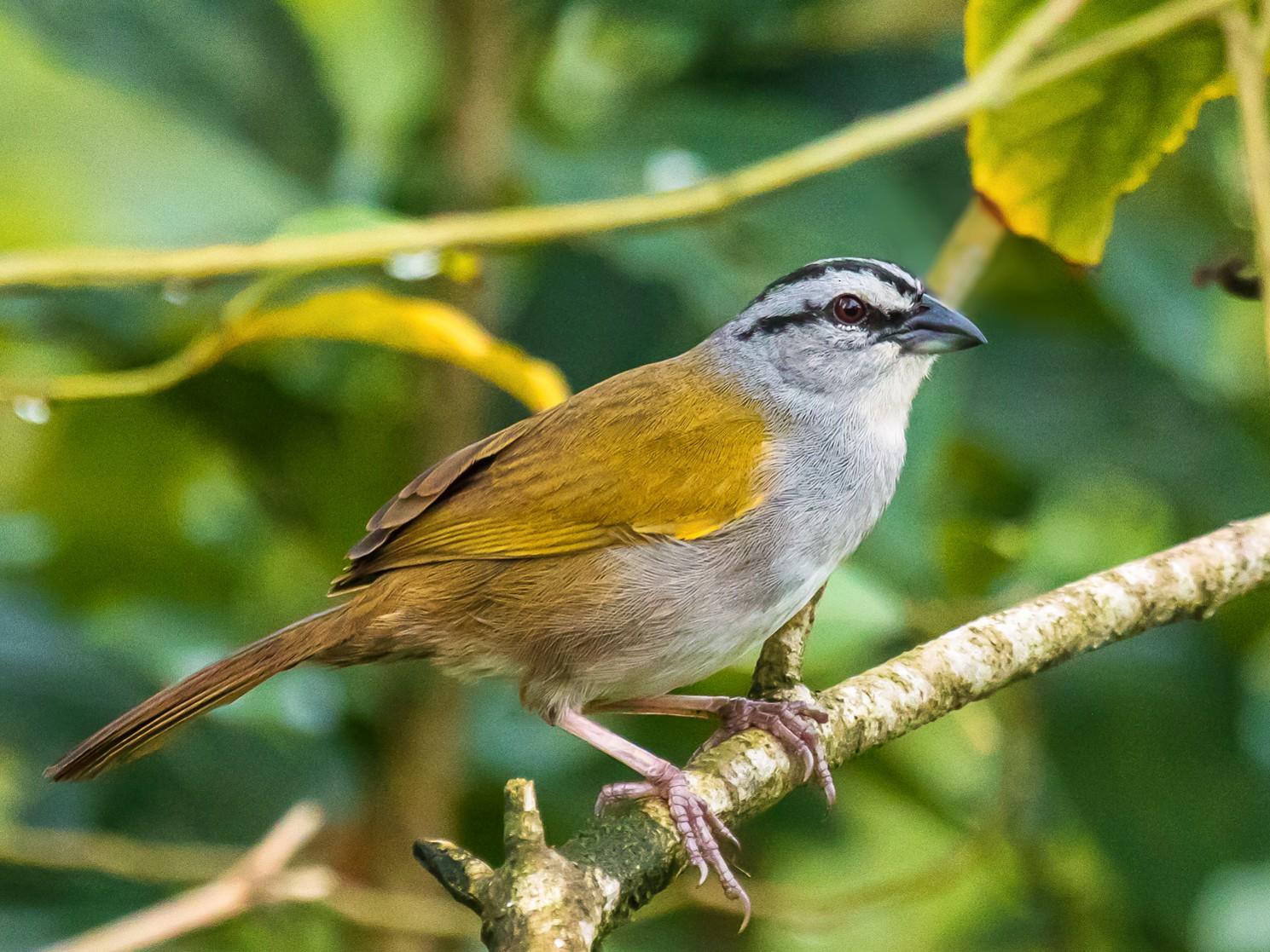 Black-striped Sparrow - graichen & recer