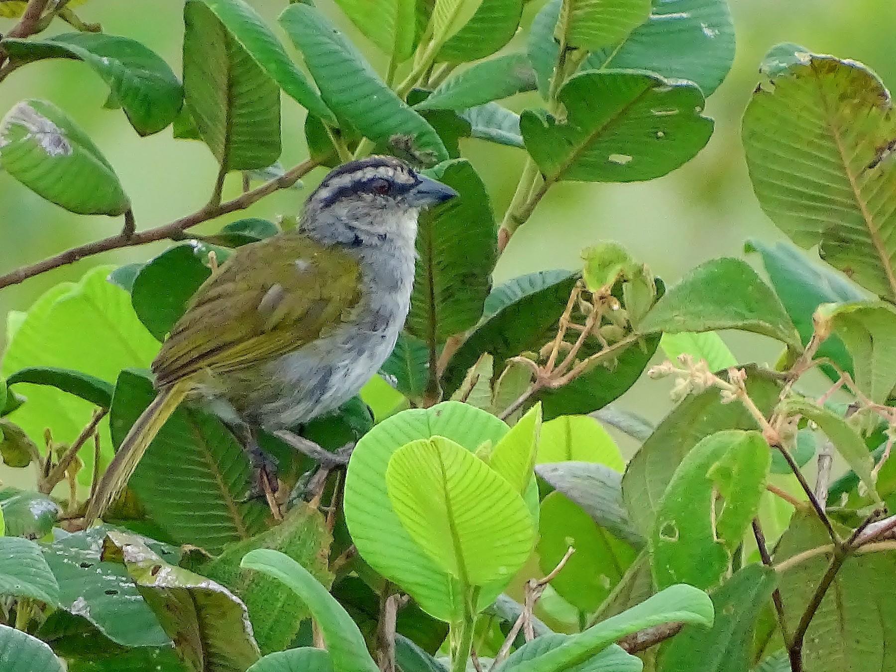 Black-striped Sparrow - Alfonso Auerbach