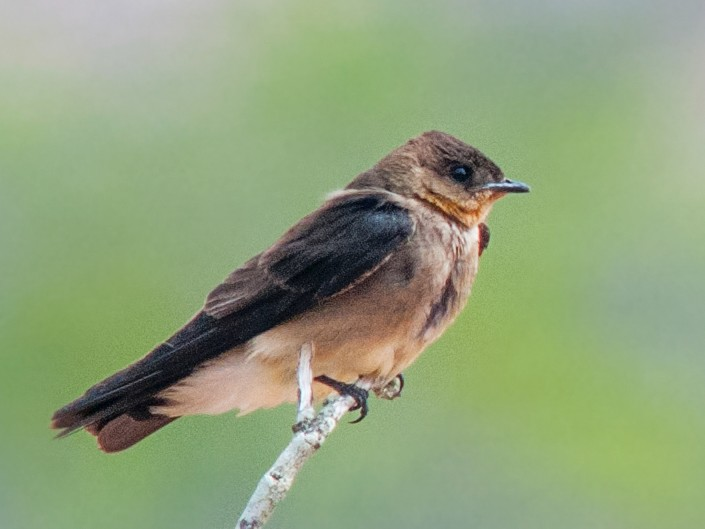 Southern Rough-winged Swallow - Nelson Cumare