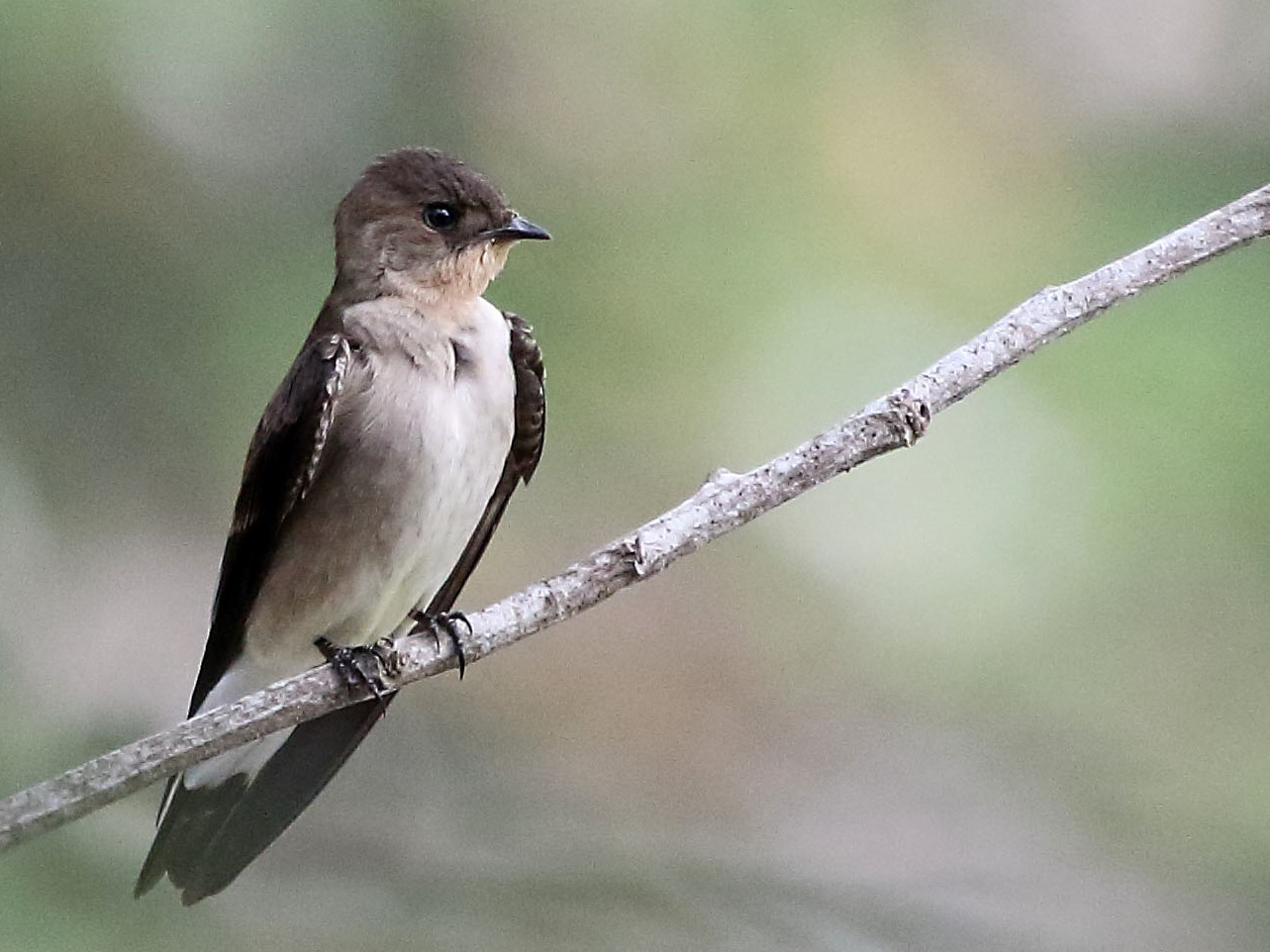 Southern Rough-winged Swallow - Myles McNally