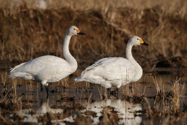Tundra Swan (Bewick's)