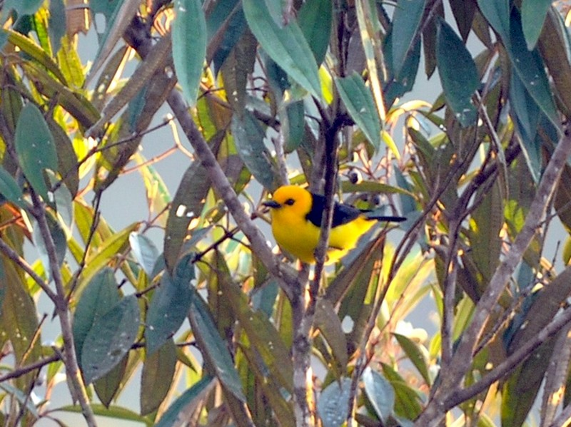 Black-and-yellow Tanager - John Doty