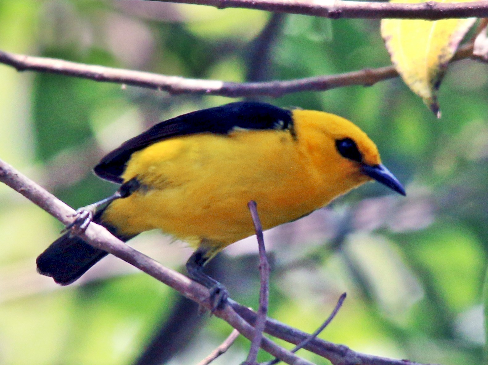Black-and-yellow Tanager - Gustino Lanese