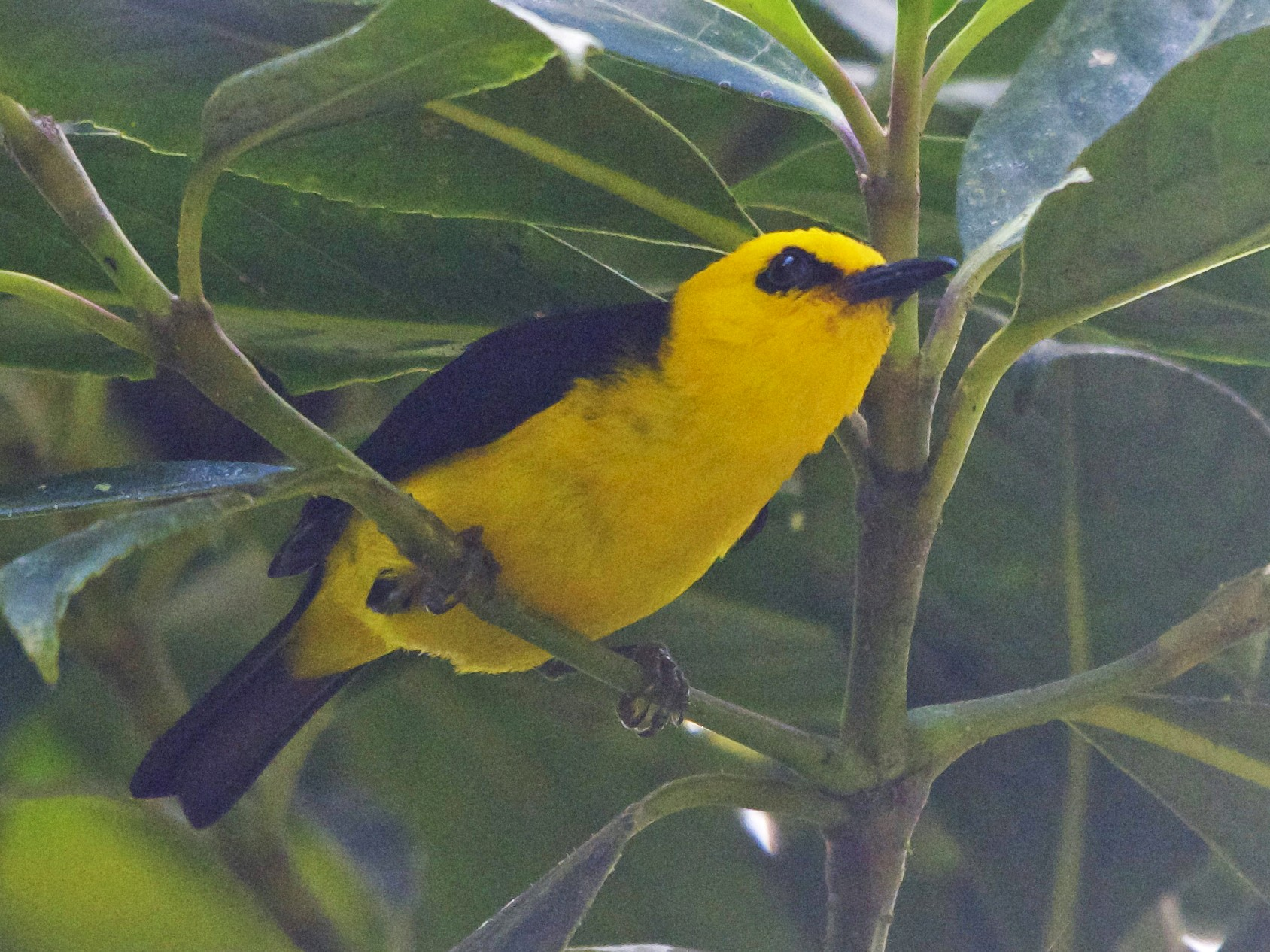 Black-and-yellow Tanager - Jan Cubilla