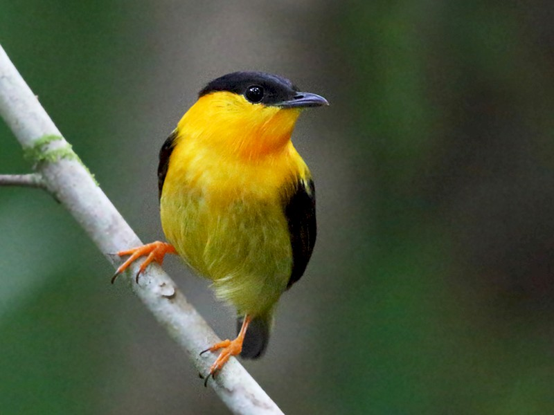 Orange-collared Manakin - Tom Murray