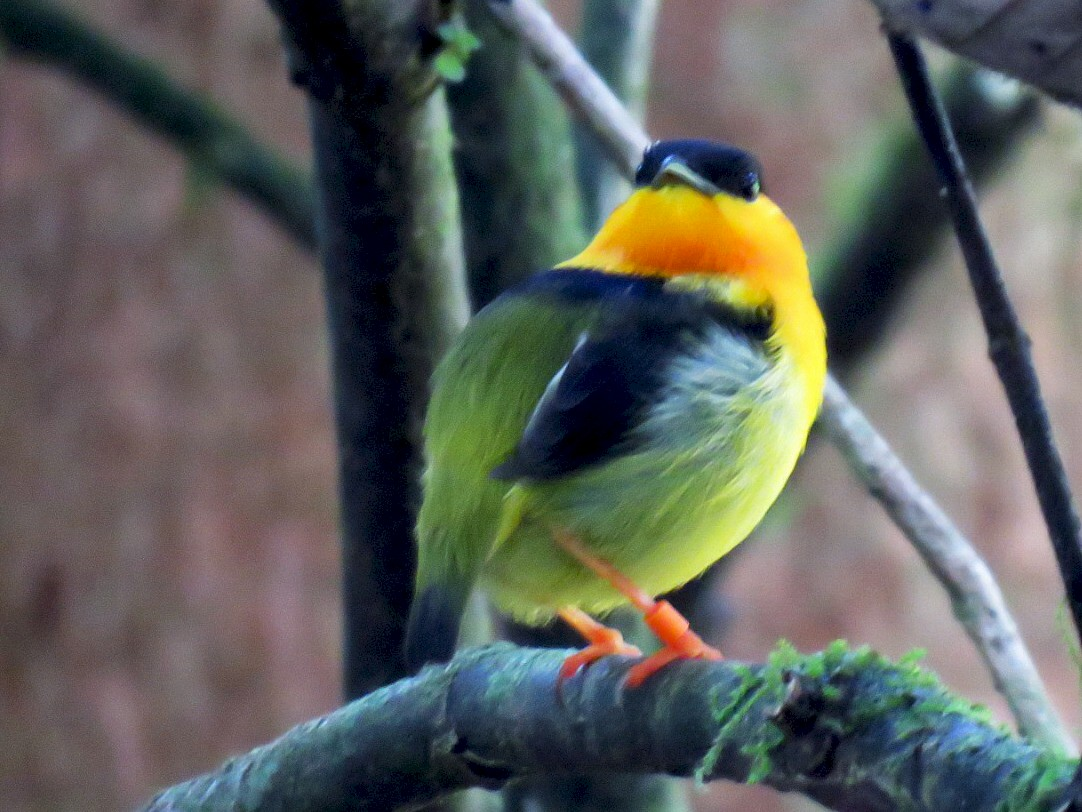 Orange-collared Manakin - Alec Humann