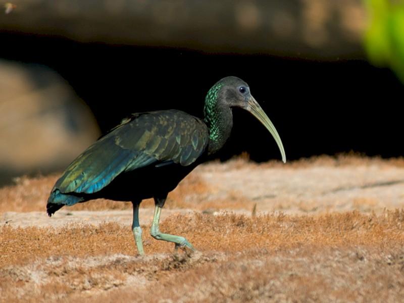 Green Ibis - Joao Quental JQuental