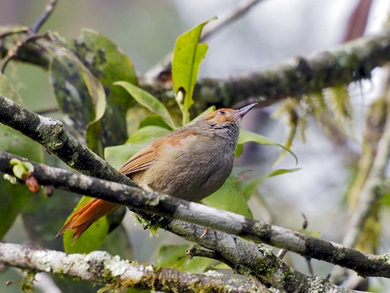 Red-faced Spinetail - Bitty Roy