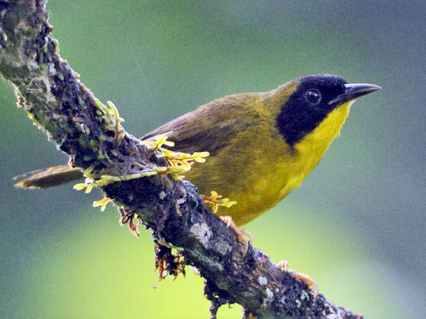 Olive-crowned Yellowthroat - David Hollie
