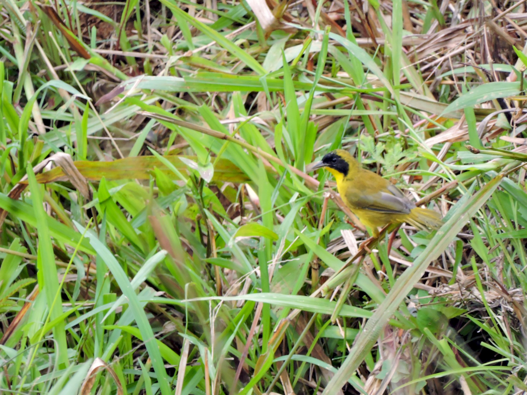 Olive-crowned Yellowthroat - Edwin Munera